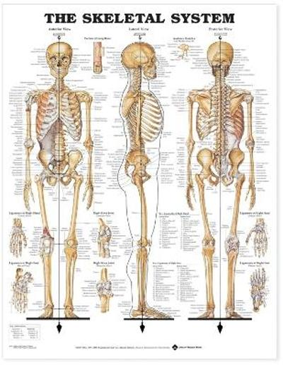 The Skeletal System Anatomical Chart - Anatomical Chart Company